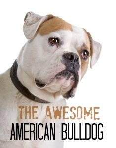 American Bulldogs are strong, confident, athletic dogs who love being part of the action.    Versatile working dogs and affectionate family pets.    Find out more about this intelligent breed here