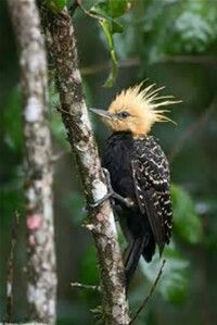 Blond Crested Wood pecker