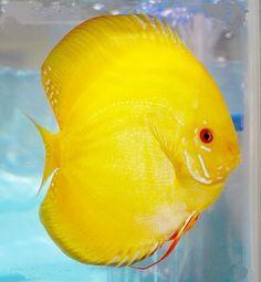 discus fish | Yellow Crystal ♡ ƦЄᑭɪƝIЄƛDƠ ᑭƠƦ ♡ © ƦƠχƛƝƛ ...
