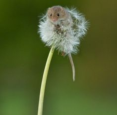 Harvest Mouse - Click image to find more Science & Nature Pinterest pins