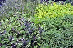 Garden Sages from left to right: Tricolor, Golden and Dwarf Garden Sage. Never too much sage! Sage, Dwarf, Plants, Gardening, Salvia, Lawn And Garden, Plant, Planets, Horticulture