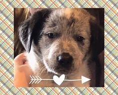 Coal is an adoptable australian cattle dog / blue heeler searching for a forever family near Whitesboro, TX. Use Petfinder to find adoptable pets in your area. Puppy Finder, Dog Mixes, Red River, Australian Cattle Dog, Rescue Dogs, Pet Adoption, Dogs And Puppies, Cute Animals, Friends