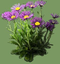 Aster Alpinus 'Dunkle Schöne' Aster, Drawings, Flowers, Plants, See Through, Photos, Darkness, Nice Asses, Florals