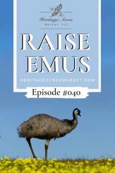 """Join Nicole and Jake and Becky from White House on the Hill as they talk about their homestead and the adventures in raising emus! WHAT YOU'LL LEARN Why did they name their homestead """"White House on the Hill"""" How Jake and Becky became homesteaders Homestead goals Raising Emus Why Jake and Becky added Emus Are emus dangerous? Hatching emu eggs Housing and containing emus #emus #farm #hobbyfarm #farm #backyard #backyardfarm Homesteading Emu Egg, Backyard Farming, Hobby Farms, Modern Homesteading, Living Off The Land, Closer To Nature, Raising Chickens, Farm Animals, Acre"""