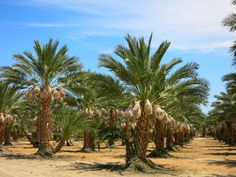 Date Palm [Phoenix dactylifera] trees, with ripening fruit, outside Mecca, California.- Flickr - Photo Sharing!
