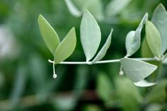 Jojoba oil has many benefits for skin. In fact, it is one of the best oils you can use on your skin. Come see why.