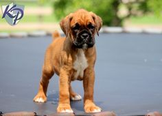 Gunther – Boxer Puppy www.keystonepuppies.com  #keystonepuppies #boxerpuppy