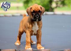 Gunther – Boxer Puppy www.keystonepuppies.com  #keystonepuppies #boxerpuppy