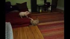 #Cat Plays With The #Piglet - #funny