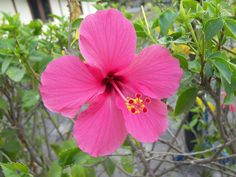 hibiscus flower | hibiscus pink Hawaii flower - hibiscus photo - images free - photo ...