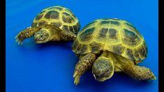 Mis tortugas mediterráneas. Información sobre tortugas
