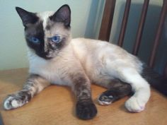 Torti point siamese   Available For Adoption | Purebred Cat Rescue