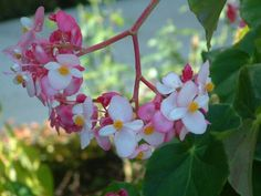 TONGA Photo K. Katoa Tonga Island, My Heritage, Tropical Paradise, Rose, Flowers, Plants, Pink, Plant, Roses
