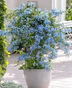 If you love the color 'BLUE,' learn about the best blue flowers you can grow in containers! Plumbago!!! Love this!