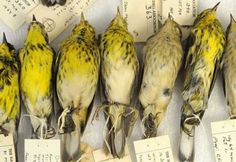 Warblers in the Collection