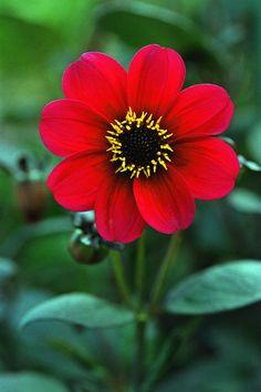 Red Flower -- photo: Corey Hochachka