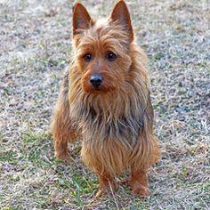 Norfolk Terrier Puppies, Terrier Dogs, Terriers, Best Dog Breeds, Best Dogs, Dog Bread, Australian Terrier, Homemade Dog Food, Dog Love