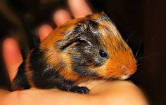 Baby guinea pig!! <3