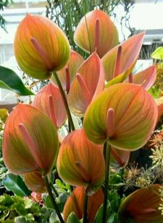 Pink And Green Anthurium Tropical Garden, Tropical Plants, Tropical Flowers, Flowers Nature, Beautiful Flowers, Orquideas Cymbidium, Flamingo Flower, Belle Plante, Calla