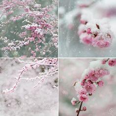 Winter Photograph, Snow on Pink Plum Blossoms, Fine Art Photograph, Holiday, Festive Home Decor