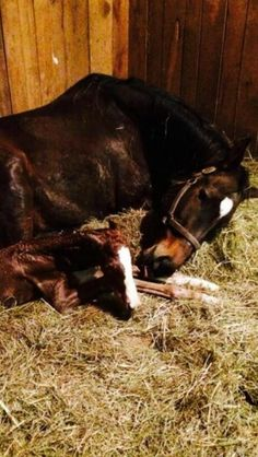 Welcome to the world, little girl! This filly is a total clone of her sire Shackleford, but gets lots of loving from mama Angel Flying.
