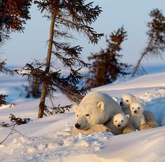 What do polar bears eat? In this article we are going to focus on the types of food that polar bears eat in the wild as well as in captivity. Nature Animals, Animals And Pets, Baby Animals, Cute Animals, Wild Animals, Beautiful Creatures, Animals Beautiful, Cute Bear, Tier Fotos