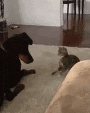 Cat: Haha I booped you! Haha I did it again! Dog: Boop. Cat: WHAT!!! HOW DARE YOU BOOP ME!!