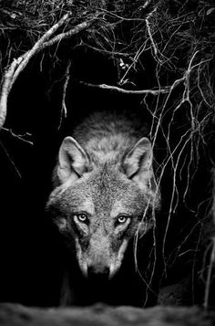 • animals Black and White wolf animal nature forest wolves darkness goth gothic…