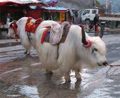 Bentley's Halloween costume Shaggy Mountain Yaks in Nepal