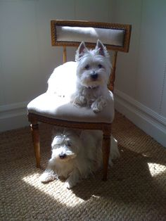 My westie's favorite spots; under the chair or sitting on the chair. West Highland White, Westies, Cute Puppies, Dogs And Puppies, Baby Animals, Cute Animals, Amor Animal, West Highland Terrier, White Terrier