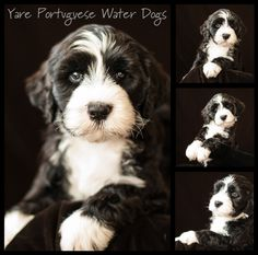 Branson at six weeks old - Tangle x Cao-Boy Litter Beautiful Children, Animals Beautiful, Dog Pictures, Cute Pictures, Baby Animals, Cute Animals, Portuguese Water Dog, Dog Agility, Four Legged