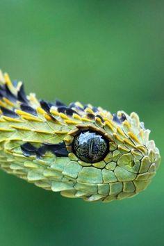 A Bush Viper. What an amazing eye!