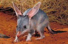 Greater Bilby (Macrotis lagotis), a desert-dwelling marsupial omnivore native to Australia Unusual Animals, Rare Animals, Animals Beautiful, Animals And Pets, Funny Animals, Exotic Animals, Strange Animals, Small Animals, Photo Animaliere