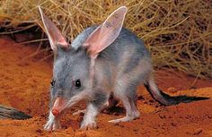 Bilby - Burrower with Long Ears and Muzzle | Animal Pictures and Facts | FactZoo.com