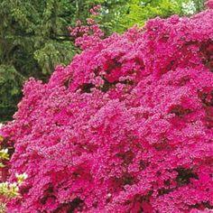Azalée japonaise 'Amoena' - Plantes et Jardins