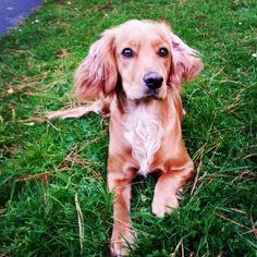 My golden working cocker spaniel Luna Valentine ❤️ #prettydog #cutedog