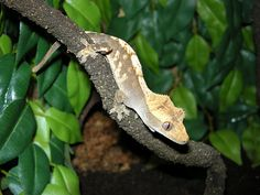Crested Gecko    by Jonathan Phillips