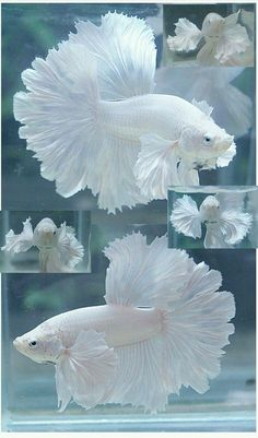 ❥ White Betta Fish~ what beautiful lacey fins! I actually might get some fish ! ❥ White Betta Fish~ what beautiful lacey fins! I actually might get some fish ! Pretty Fish, Cool Fish, Beautiful Fish, Beautiful Tropical Fish, Beautiful Family, Beautiful Flowers, Pretty Birds, Beautiful Creatures, Animals Beautiful
