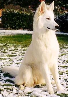 It looks like a German Shepherd, but I'm not 100% sure it is one..... But it's magnificent.