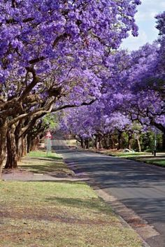 Jacaranda Trees in South Africa.  Go to www.YourTravelVideos.com or just click on photo for home videos and much more on sites like this.