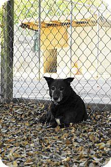 Retriever (Unknown Type)/Terrier (Unknown Type, Medium) Mix Dog for adoption in Key Biscayne, Florida - Midnight