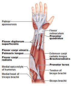superficial anterior muscles of the forearm