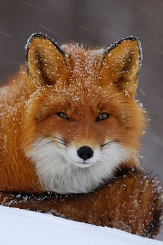 Red Fox by Igor Shpilenok- I love the little speckled of snow and how the red stands out against it