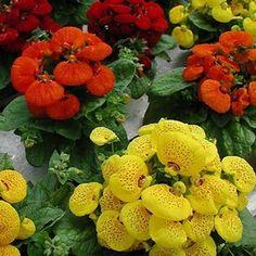 Slipper Flower Fascination Mix Seeds (Calceolaria Herbeohybrida) 50+ Seeds