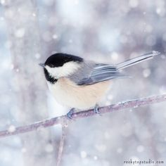 "Fine Art Bird Photography Print ""Chickadee in Snow No. 12"" by Allison Trentelman 