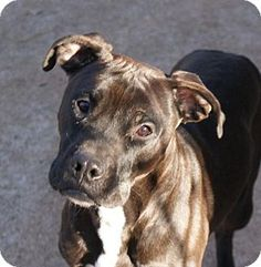 Pictures of Nassor a American Pit Bull Terrier for adoption in Dallas, GA who needs a loving home.