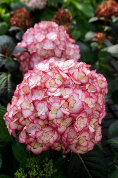 Hydrangea macrophylla Miss Saori ('H20-2') - Winner of RHS Chelsea plant of the year 2014, this stunning new hydrangea can flower on both new and old wood, so it has a very long period of interest. The petals of the sterile, double flowers have a deep rose margin, creating a picotee effect with the creamy white centre. They look dazzling against the backdrop of luch green foliage, which takes on burgundy overtones in spring and autumn.