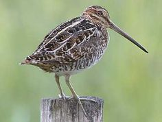 Wilson's snipe. Yes they do exist.