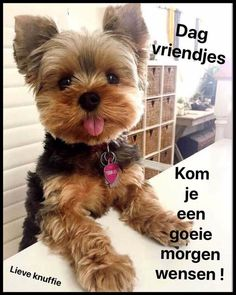 Yorkshire Terrier, Yorkies, Good Morning, Teddy Bear, Claudia Schiffer, Animals, Hugs, Design, Amor
