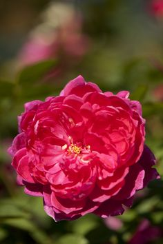 'Sophy's Rose'    Shrub.  English Rose Collection. Bred by David C. H. Austin (United Kingdom, 1997)   Flickr - © NYBG, Photo by Ivo M. Vermeulen